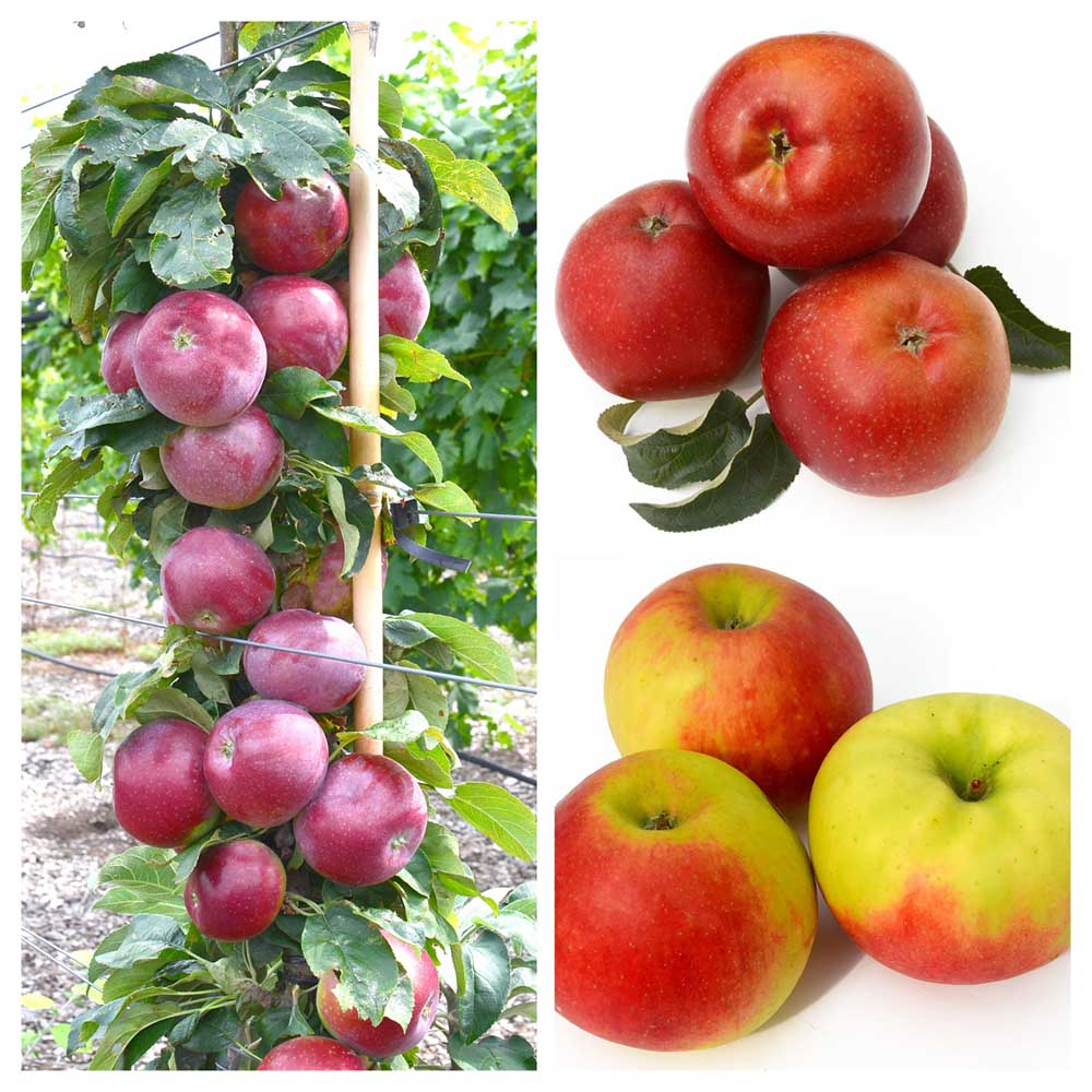 A collection of Russian disease resistant winter apple varieties