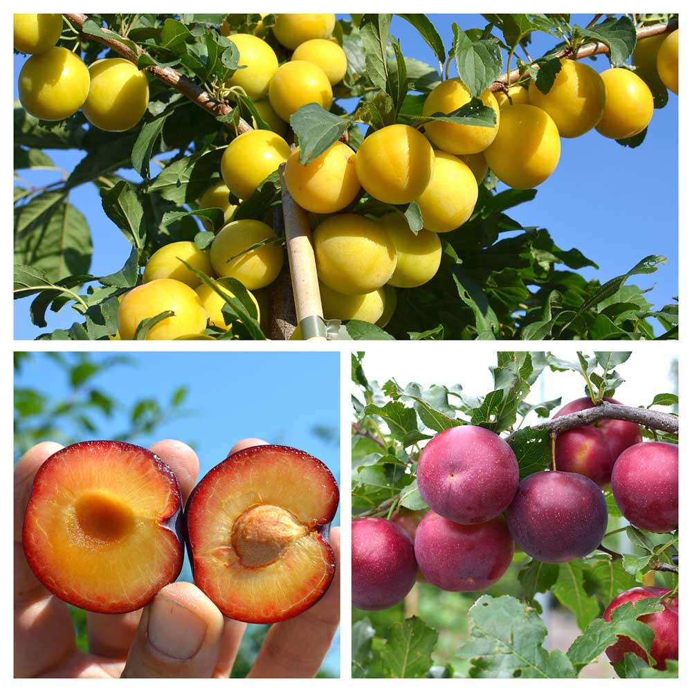 A collection of hybrid Russian plum varieties