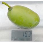Pawpaw (Asimina triloba) PRIMA 1216