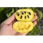 Pawpaw (Asimina triloba) WELLS