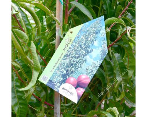 Nectarine (Prunus persica var. nucipersica) ALICE COL - Columnar Tree