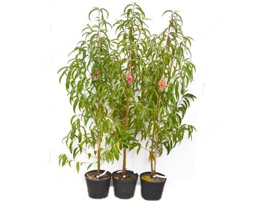 Pfirsich (Prunus persica) VISTARICH