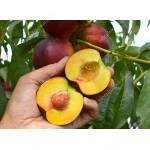 Nektarine (Prunus persica var. nucipersica) HARCO