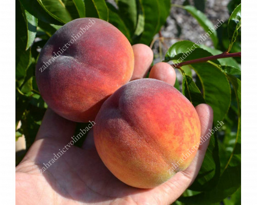 Peach (Prunus persica) YUZHNAYA GARMONYA