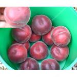 Peach (Prunus persica) RED ROBIN