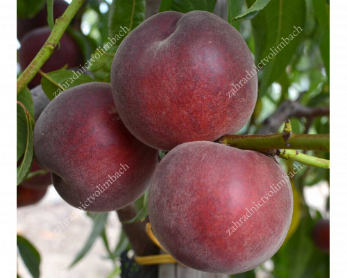 Broskyňa (Prunus persica) ROYAL GEM