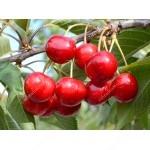 Sweet Cherry (Prunus avium) CLAUDIA - Columnar Tree