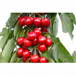 Čerešňa (Prunus avium) KORDIA