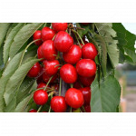 Sweet Cherry (Prunus avium) SARA - Columnar Tree
