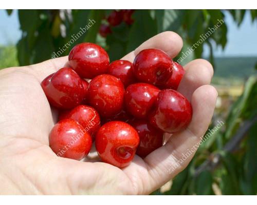 Čerešňa (Prunus avium) SKEENA®
