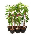 Sweet Cherry (Prunus avium) SYLVIA - Columnar Tree