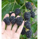 Brombeere (Rubus fruticosus) ASTERINA®