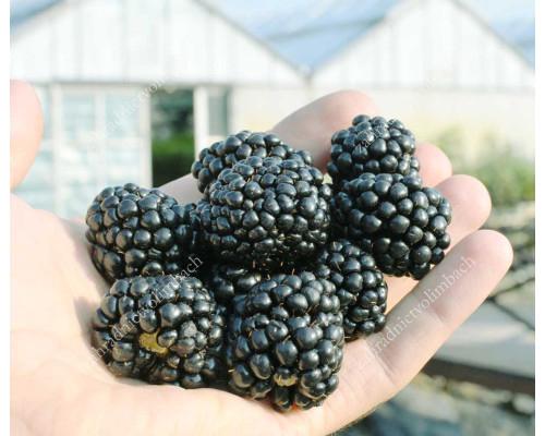 Blackberry (Rubus fruticosus) BLACK SATIN
