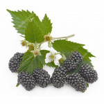 Černica (Rubus fruticosus) BRZEZINA®