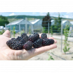 Černica (Rubus fruticosus) KARAKA BLACK®