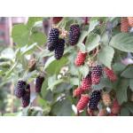 Brombeere (Rubus fruticosus) KARAKA BLACK®