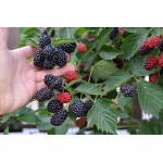Blackberry (Rubus Eubatus) REUBEN®