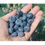 Blueberry (Vaccinium corymbosum) BRIGITTA BLUE