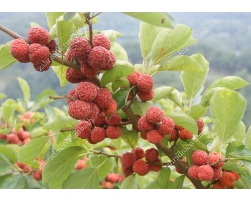 Chinese Mulberry (Cudrania tricuspidata) CHE DARROW