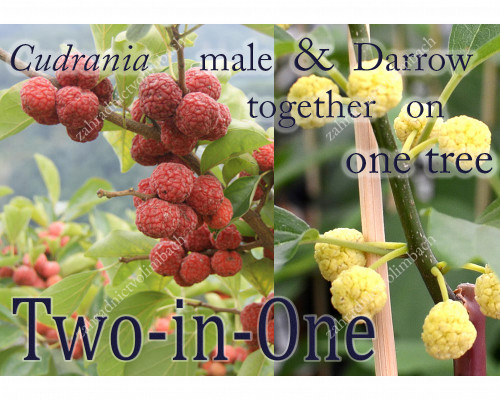Chinese Mulberry (Cudrania tricuspidata) POLLENIZER & DARROW together on one tree
