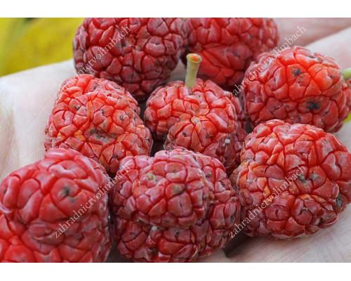 Chinese Mulberry (Cudrania tricuspidata) CHE SEEDLESS