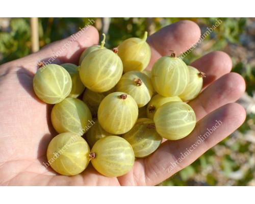 Egreš (Grossularia uva-crispa) BERILL
