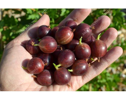 Stachelbeere (Grossularia uva-crispa) TSCHERNOSLIVOVY