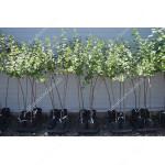 Egreš (Grossularia uva-crispa) NESLUCHOVSKIJ (stromček)