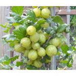Stachelbeere (Grossularia uva-crispa) INVICTA (Stamm)