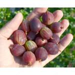 Stachelbeere (Grossularia uva-crispa) KAMENIAR (Stamm)