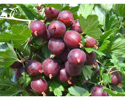 Stachelbeere (Grossularia uva-crispa) NESLUCHOVSKIJ (Stamm)