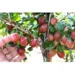 Gooseberry PAX® (tree shape)