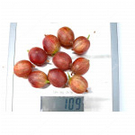 Gooseberry PAX® (shrub shape)