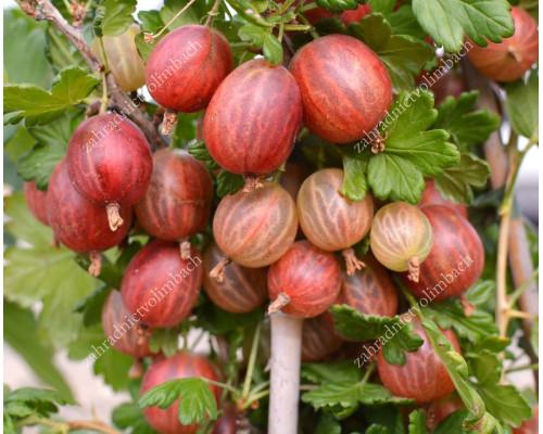 Stachelbeere (Grossularia uva-crispa) XENIA® (Strauch)