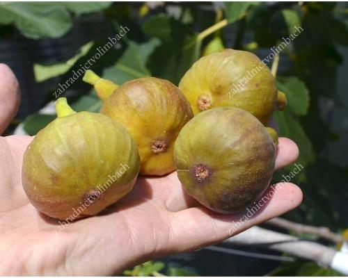 BORNHOLM`S DIAMOND (Ficus carica) Fig Tree