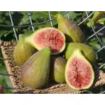 Figovník (Ficus carica) DALMATIE
