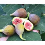 Figovník (Ficus carica) CELESTE