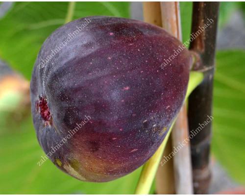 Figovník (Ficus carica) NOIRE DE CAROMB