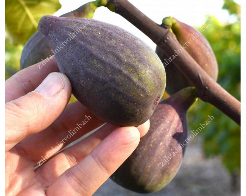 OSBORN PROLIFIC Fig Tree