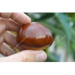 Gaštan jedlý (Castanea crenata x Castanea sativa) MARSOL
