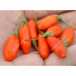 Goji  (Lycium barbarum) No.1 LIFEBERRY®