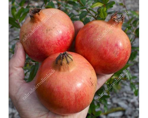 Granatapfel (Punica granatum) Mollar de Elche