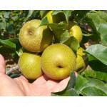 Apple Pear CHOJURO