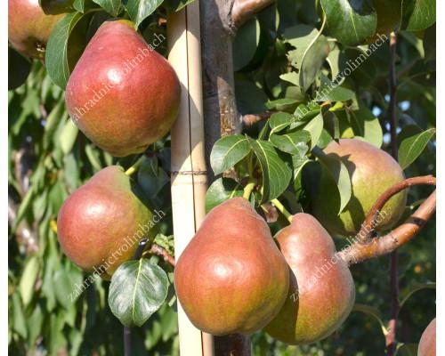 Pear (Pyrus communis) DECORA - Columnar Tree