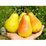 Birne (Pyrus communis) HARROW SWEET®