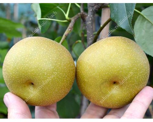 Apple Pear HOSUI