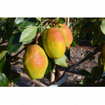 Pear (Pyrus communis) KYRGYZSKAYA ZIMNAYA