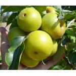 Nashi - Japonská hruška (Pyrus pyrifolia) NIJISSEIKI