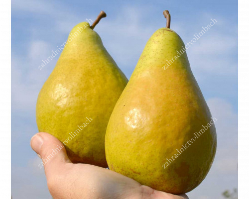 Pear (Pyrus communis) NOYABRSKAYA