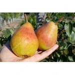 Pear (Pyrus communis) OBELISK - Columnar Tree